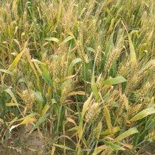 供应鲁研502小麦原种图片
