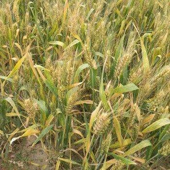 供应鲁研502小麦原种