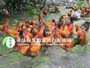 南充土鸡苗批发,土鸡养殖技术