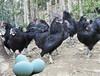 养鸡,就跟怀孕一样的。靠的是养!南充脱温鸡预售批发