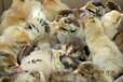 不知道为什么有人养鸡会赚钱,而有人会亏本?内江自生源常年提供土鸡苗养殖技术