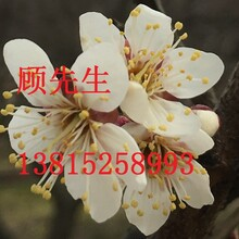 苏州绿化景观公司,苏州景观造型苗木最低价批发,苏州超低价造型景观树