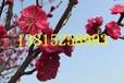 苏州香雪梅花树盆景、苏州大型梅花树基地、红绿梅、苏州庭院别墅绿化、别墅果树花树