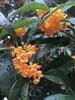 苏州桂花树苗圃,樱花树苗木基地,梅花树景观树,苏州庭院绿化苗木果树
