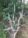 树桩古桩苗木、苏州庭院绿化工程、造型鸿运果树桩、造型瓜子黄杨树、绿化苗木苗圃