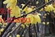 苏州高档别墅绿化,石榴树,果石榴,花石榴,古石榴树桩,精品果树苗木市场