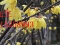 苏州高档别墅绿化,石榴树,果石榴,花石榴,古石榴树桩,精品果树苗木市场图片