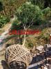 苏州黄杨树,造型瓜子黄杨树,景观造型树苗圃,绿化工程施工养护