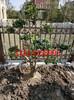 苏州羽毛枫,精品巨型鸡爪槭,特级优美鸡爪枫,苏州绿化苗木苗圃基地