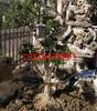 苏州庭院景观绿化,苏州别墅绿化工程,私家园林景观设计,苏州大型树桩盆景