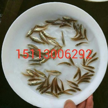 中华鳖鱼苗