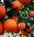 三级水果塔罗科血脐橙