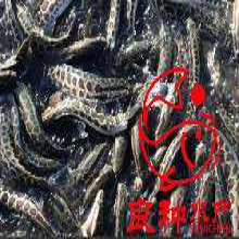 优质杂交黑鱼苗生鱼蛇鱼乌鳢鱼苗批发孵化基地全国直销