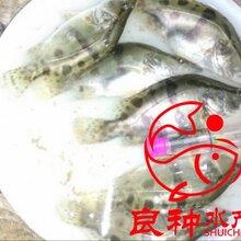优质桂花鱼苗翘嘴桂花鱼苗鳜鱼苗淡水鱼苗场优质鱼苗供应商图片