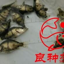 广东鳜鱼苗广西鳜鱼苗清远桂花鱼苗图片
