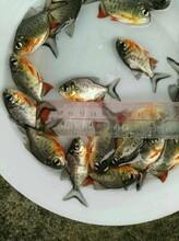 广州良种水产淡水白鲳鱼苗红鲳鱼苗淡水鲳鱼苗3-8厘米图片