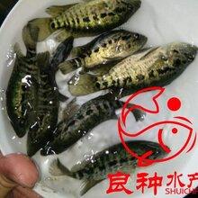 贵港笋壳鱼苗批发,贺州笋壳鱼苗价格,崇左笋壳鱼苗图片