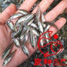 加州鲈鱼苗,加州鲈水花,淡水加州鲈鱼苗图片