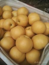 永誠果業供應豐水梨7月25號大量上市黃金梨綠寶石梨圖片