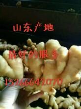 山东生姜产地优质生姜,面姜,老姜,新姜批发价格图片