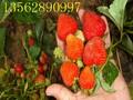 山东批发草莓苗低价草莓苗出售红颜草莓苗白草莓苗图片