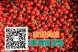 巴西樱桃长沙巴西樱桃苗种子苗木性价比最高山瓜瓜