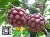 北京黑老虎布福娜苗种子苗木性价比最高山瓜瓜
