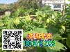 上海姑娘果黄菇果苗种子苗木特价批发山瓜瓜