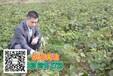 和县红心猕猴桃苗种子苗木果树特价批发山瓜瓜