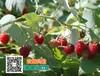 遵义树莓树梅苗种子苗木性价比最高山瓜瓜