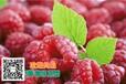 怀化树莓树梅苗种子苗木不二之选山瓜瓜