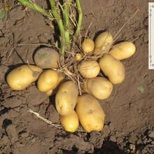 内蒙古脱毒土豆种子哪家便宜+山东微型薯价格