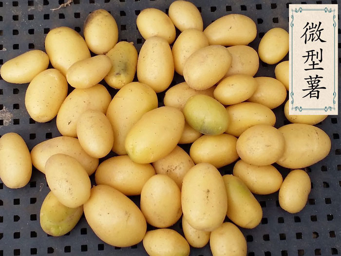 内蒙古土豆产地_【内蒙古脱毒马铃薯种子】-黄页88网
