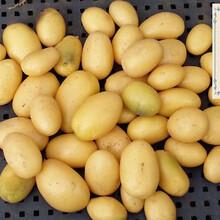 内蒙古脱毒马铃薯+长春土豆种+山东网棚薯价格