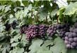 莱西产地暖棚巨峰葡萄大量供应口感好
