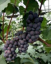 山东莱西大棚巨峰葡萄大量供应代购代销图片
