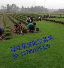 贵州草坪-贵州草皮-贵州马尼拉草皮价格