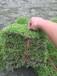 福建草皮价格,福建台湾青草皮介绍,福建草坪价格