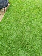 四川马尼拉草坪草皮图片