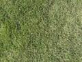 草皮价格,草皮介绍,草皮出售图片