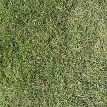 广西马尼拉草坪~广西绿化草皮图片