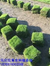 福州绿化草坪批发