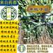 供應商州枳殼優質枳殼苗,大量供應黃梔子苗,批發嫁接黃梔子苗