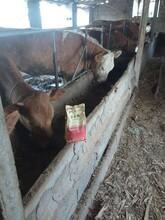 瘦牛催肥怎么喂肉牛催肥怎么喂牛催肥剂哪个厂家好图片