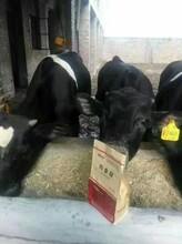 牛喂什么长的快养牛催肥民间给牛催肥的偏方图片