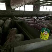 育肥猪白金肽多少钱猪催肥添加剂育肥猪怎么喂长得快图片