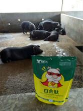 猪吃什么饲料长得快怎样养猪长得快猪催肥添加剂图片