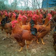 肉鸡吃什么长得好鸡吃什么能催肥鸡吃什么长的快图片