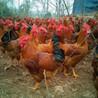 鸡吃什么长得又快又肥鸡吃什么激素药长得快养鸡吃什么长的快配方