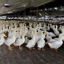 肉鸭吃什么长得快肉鸭催肥药肉鸭后期催肥图片